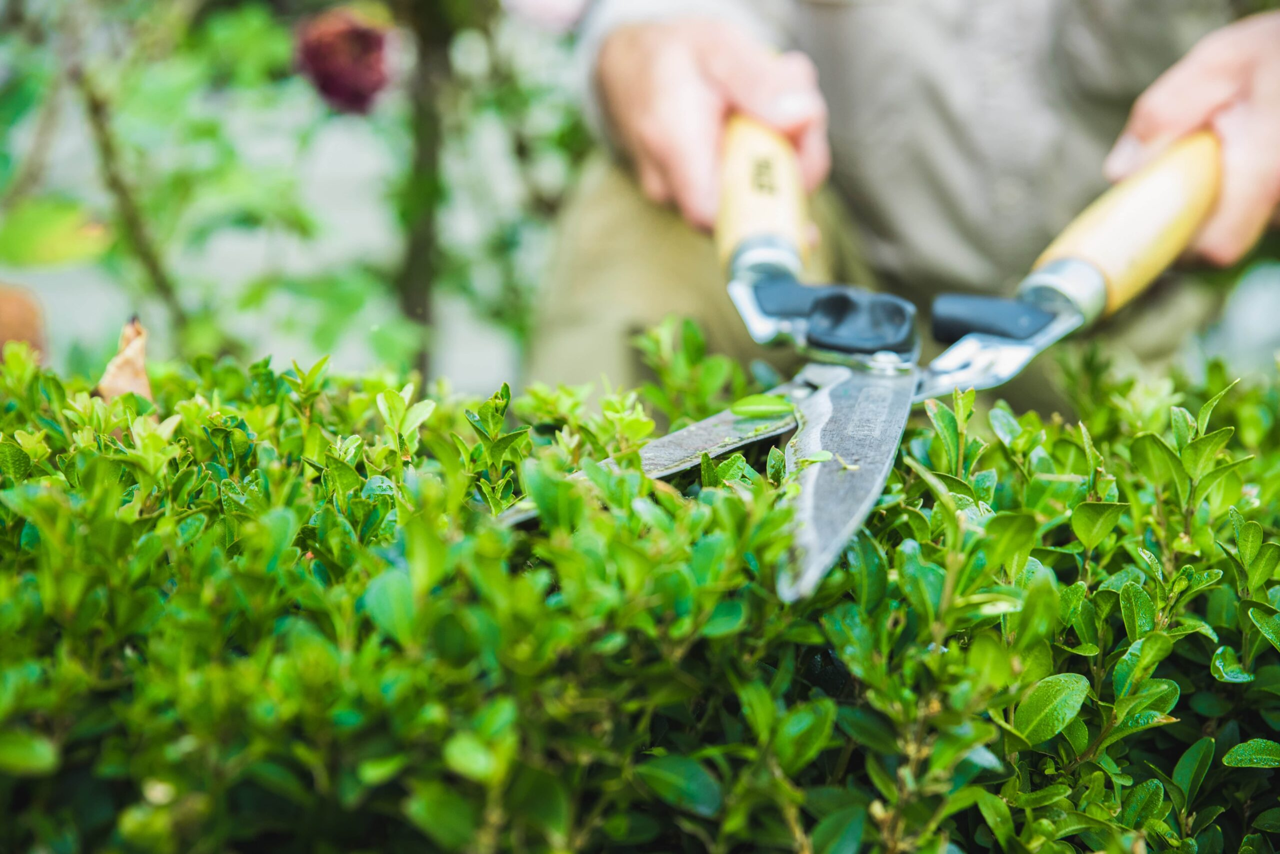 garden-shears-trimming-hedge-ADY8VCM-min