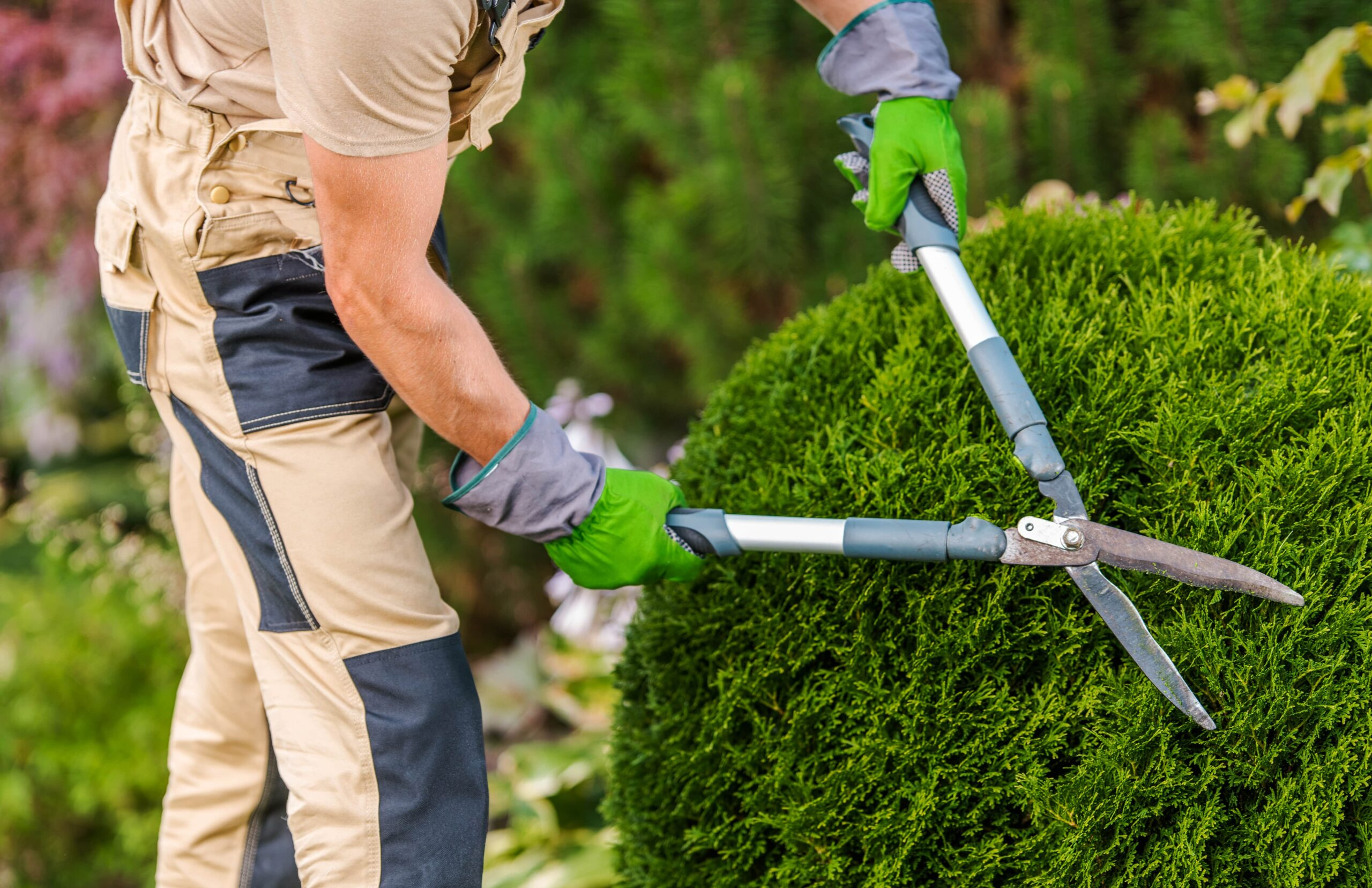 gardener-pruning-and-shaping-bushes-3UP49X7-min